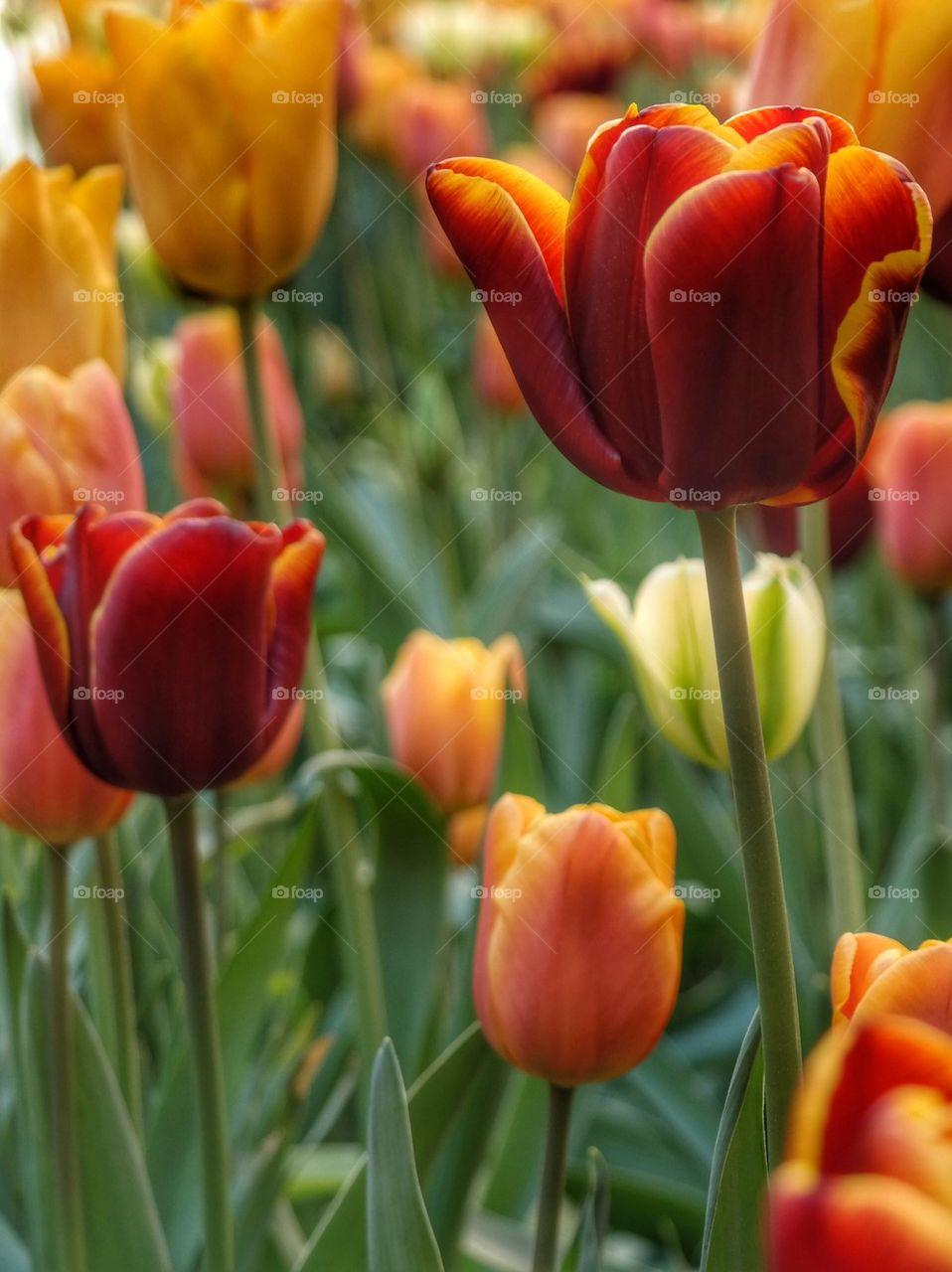 Tulip flowers blooming in spring