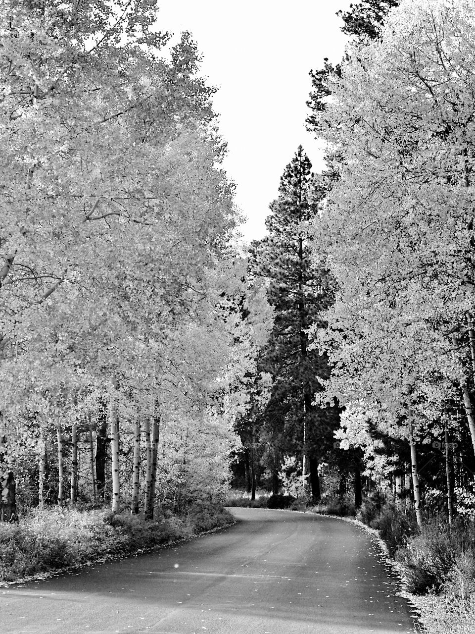 A backroad rode travels through an aspen forest in Central Oregon on a fall day.