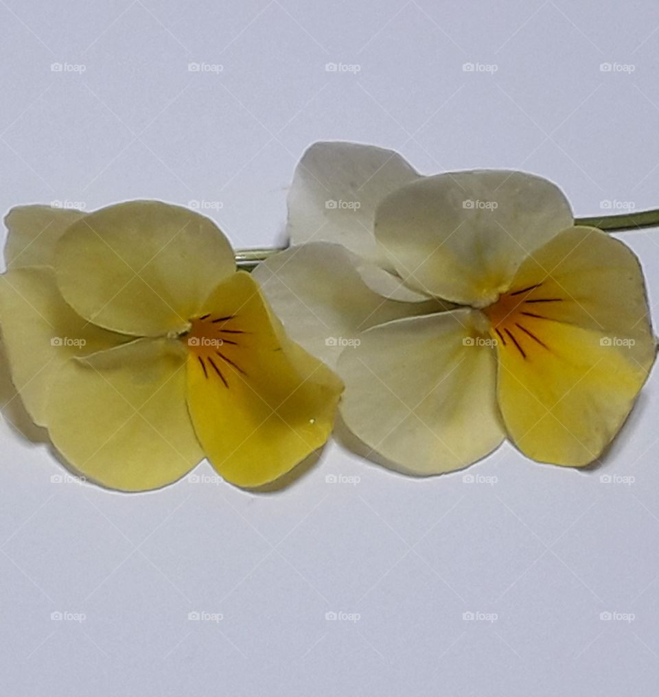 Lovely yellow flowers are on the white background with clipping path.