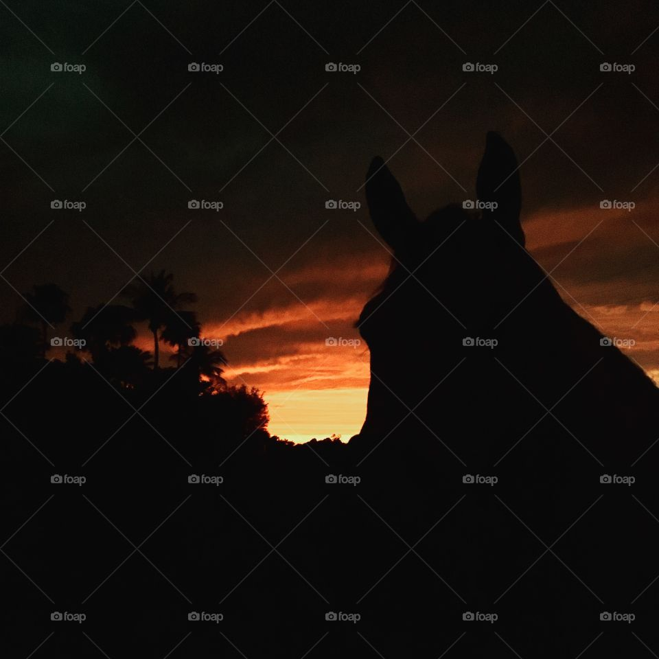 horse in sunset light  wellington FL USA