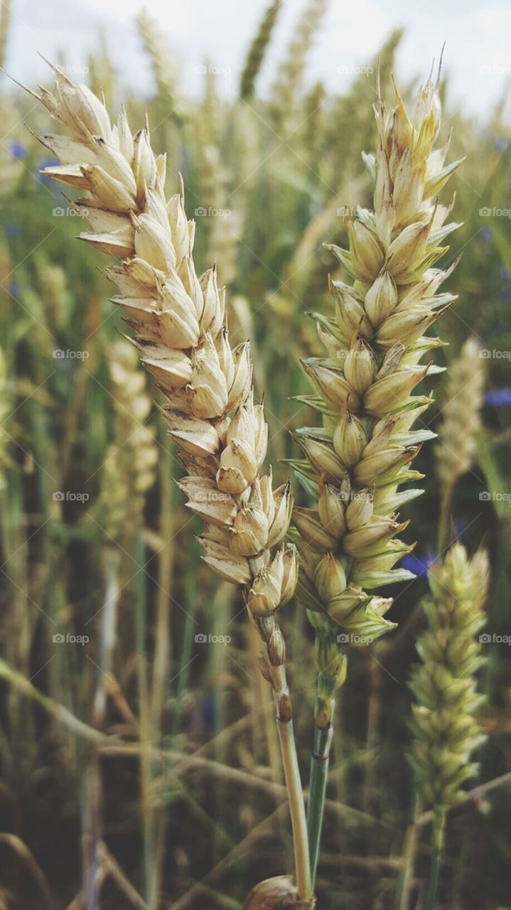 Wheat macro