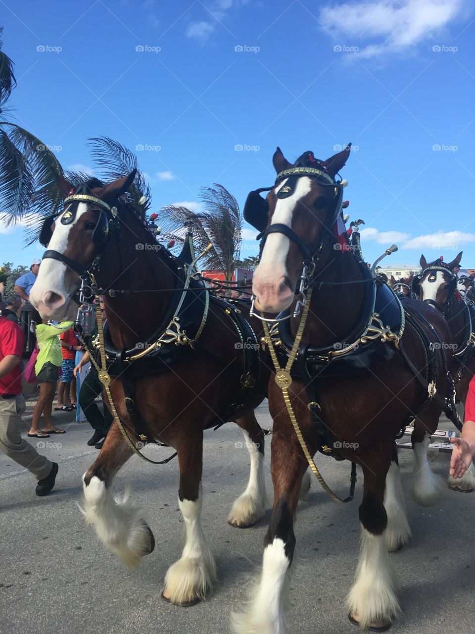 Clydesdale Budweiser horses trotting