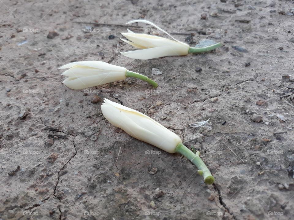White Champaka on the ground