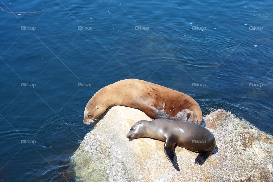 Baby sea loin and mom resting in a stone in sunny afternoon on bay of Monetary