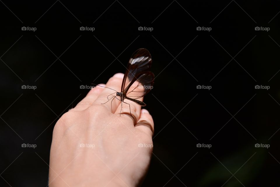 one butterfly with transparent wings settled on a hand