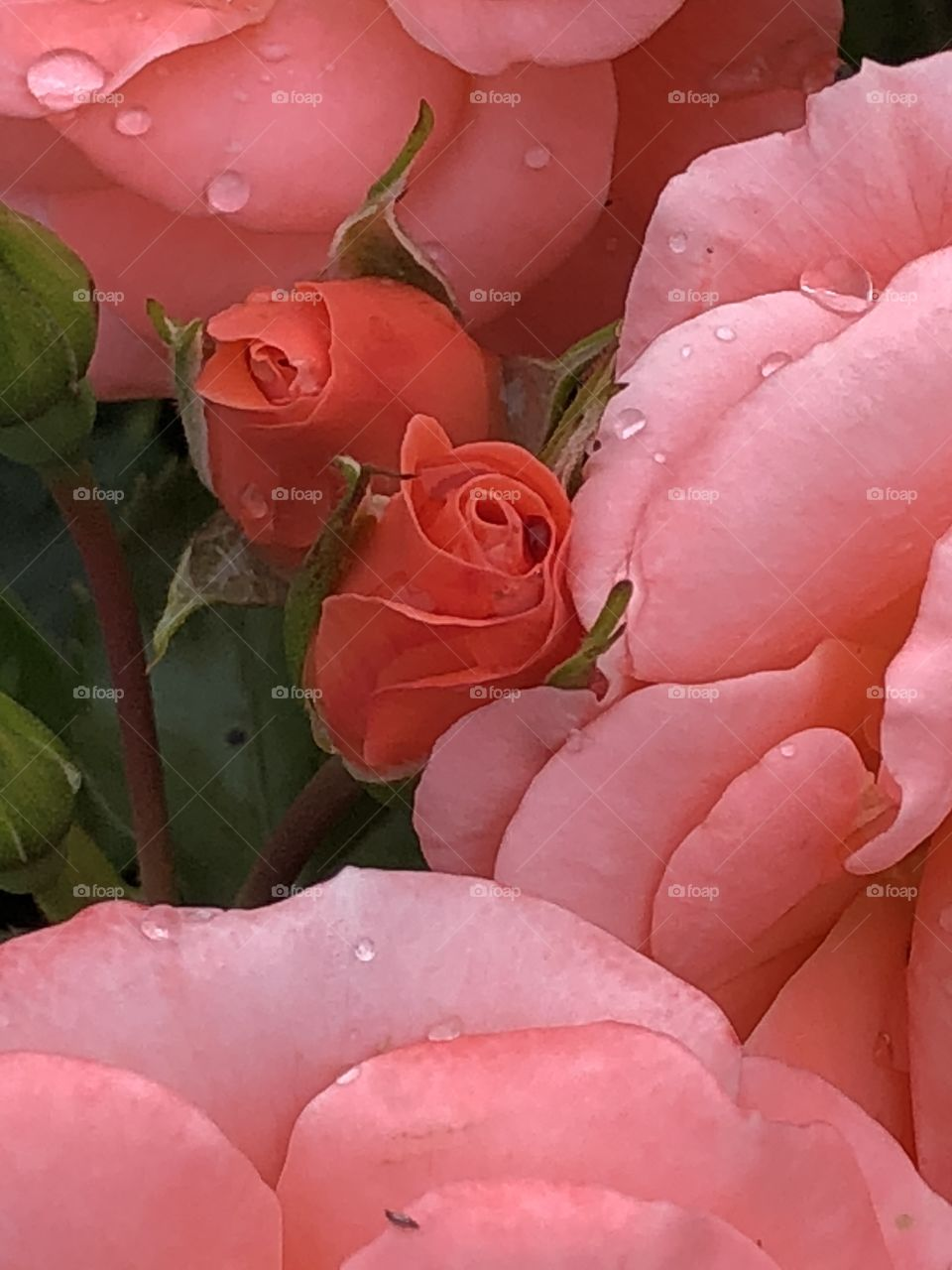 Pink roses and buds