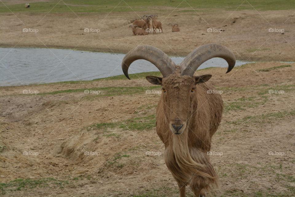 Closeup of a billy goat at grapeland drivethru safari in Texas