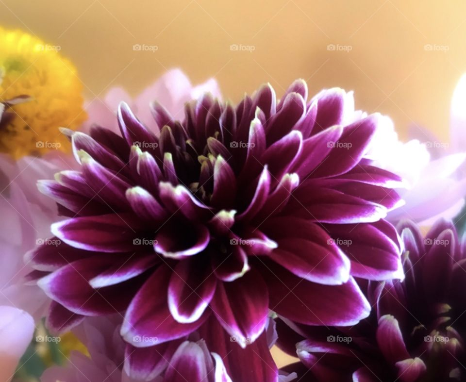 Beautiful purple and white trimmed flower with yellow background.