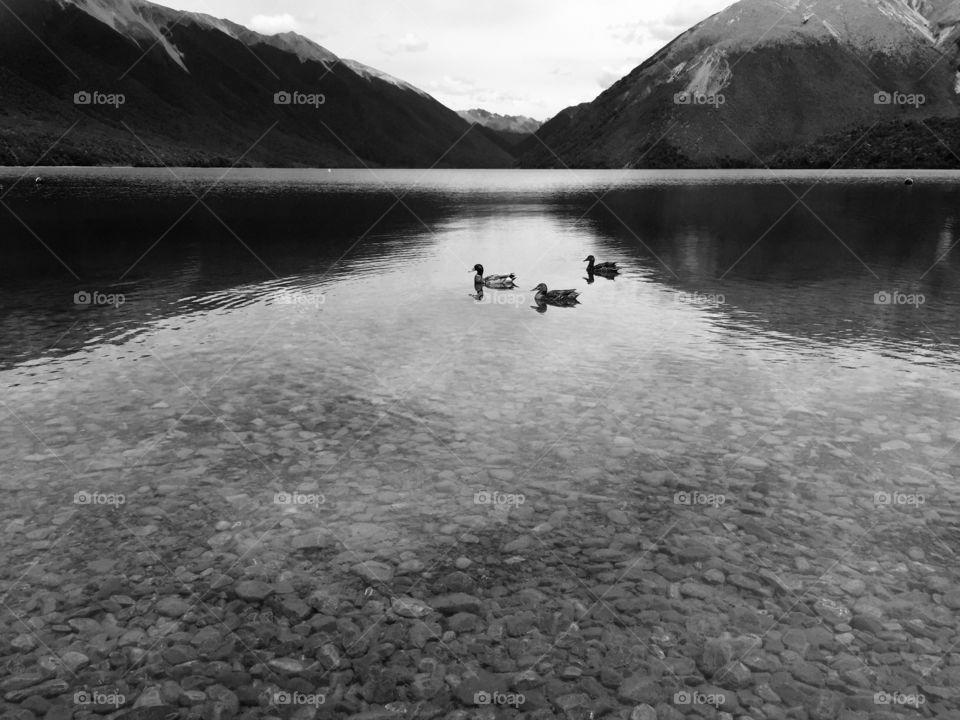 Black and white ducks
