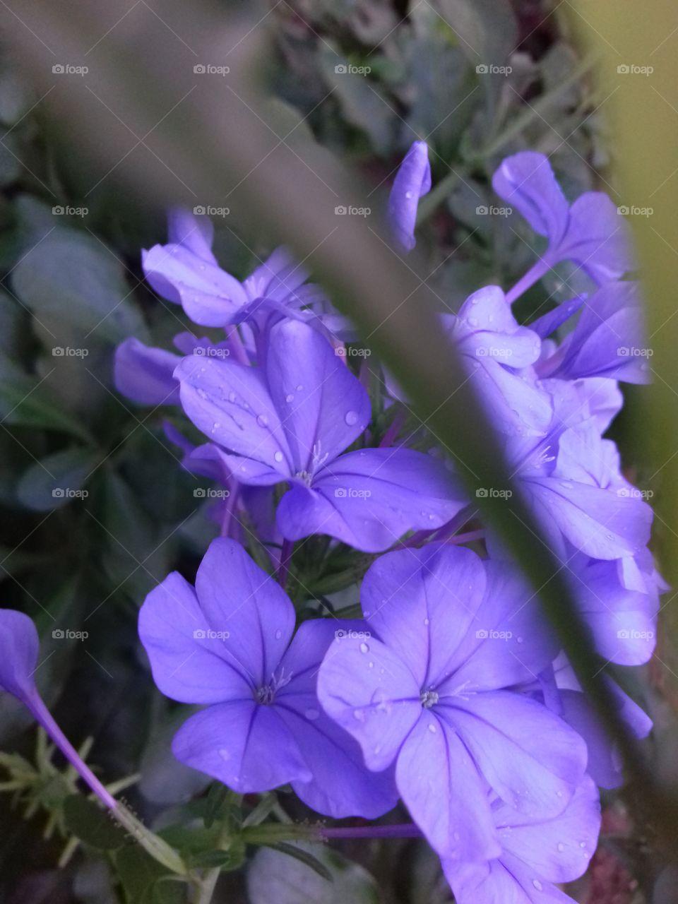 purple flower bunch