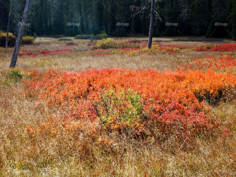 Bright red, orange, yellow, and green bushes in a forest meadow showing off vibrant fall colors.