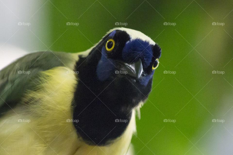 Curious colorful tropical Inca Jay bird looking straight into the camera. Nyfiken färggrann tropisk fågel tittar rakt in i kamera, Inkaskrika .