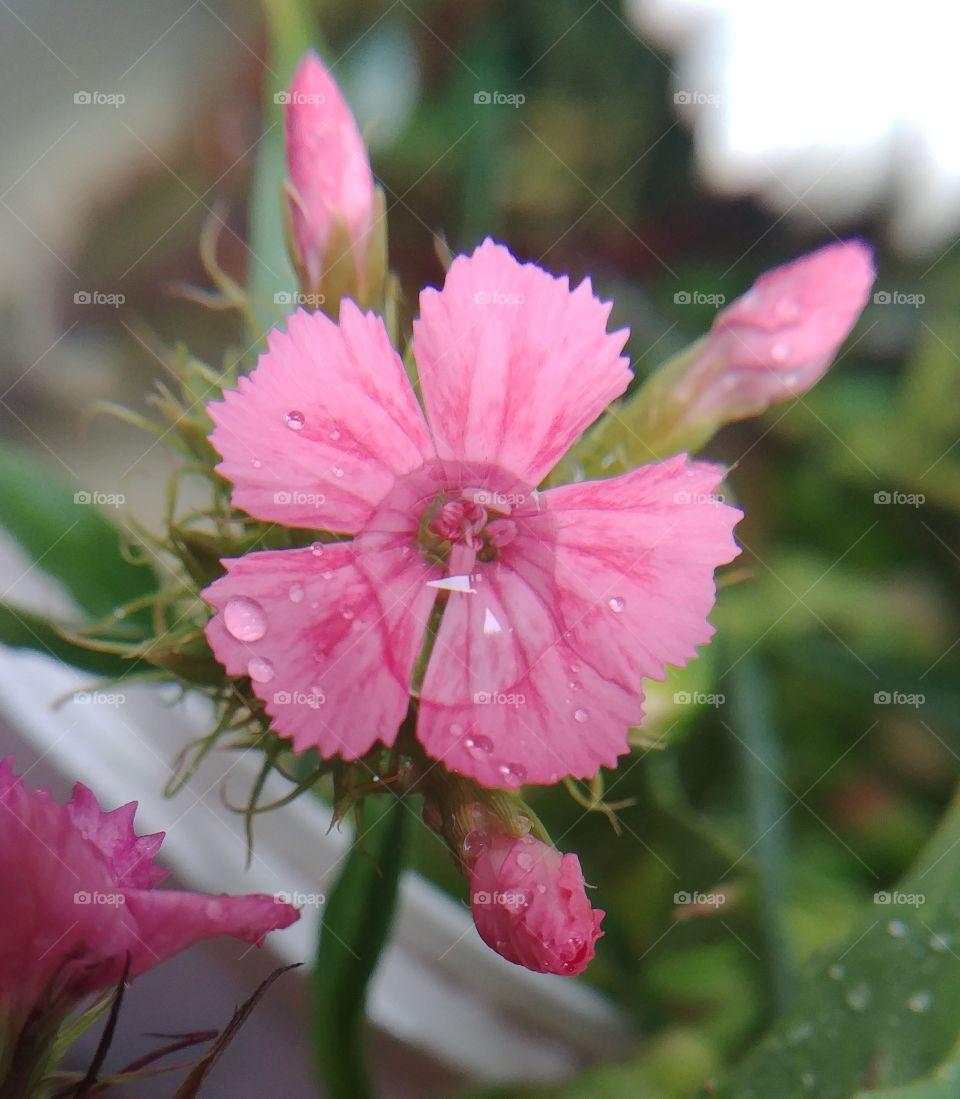flower Nelke rosa pink blühen Blüte blume
