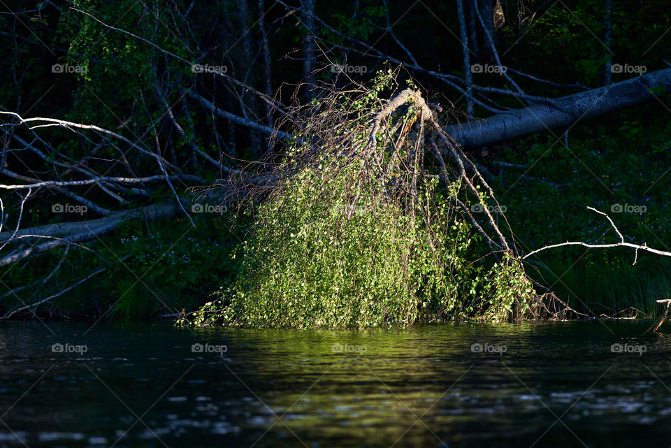 Low evening sun light illuminating leaves of a fallen Aspen tree cut down by beaver on the Torne river banks in Swedish Lapland.