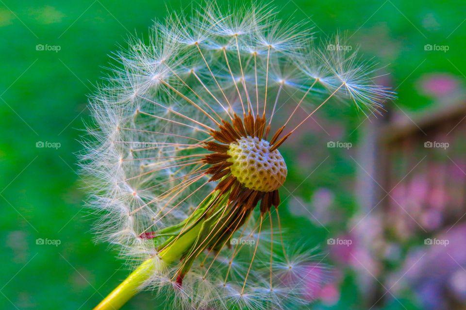 Summertime dandelion.