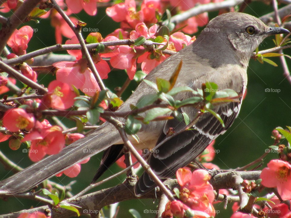 Northern Mockingbird sitting in a Japanese Quince bush in Spring