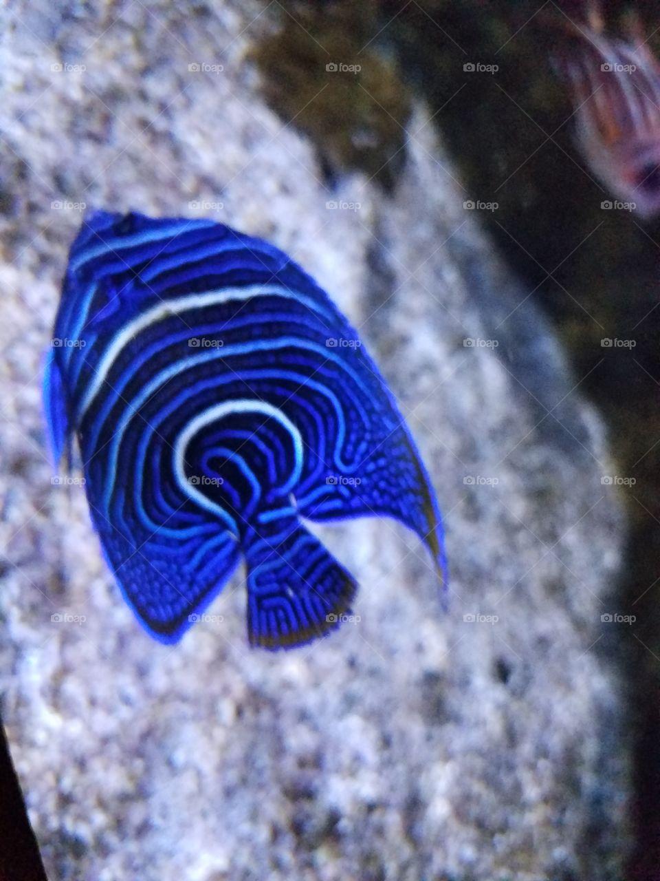 striped tang