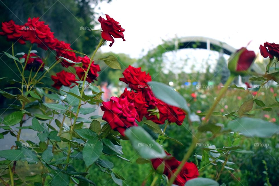 Red roses in the park overlooking the building with an arch