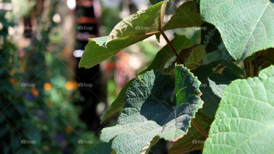 Grape leaf in a garden