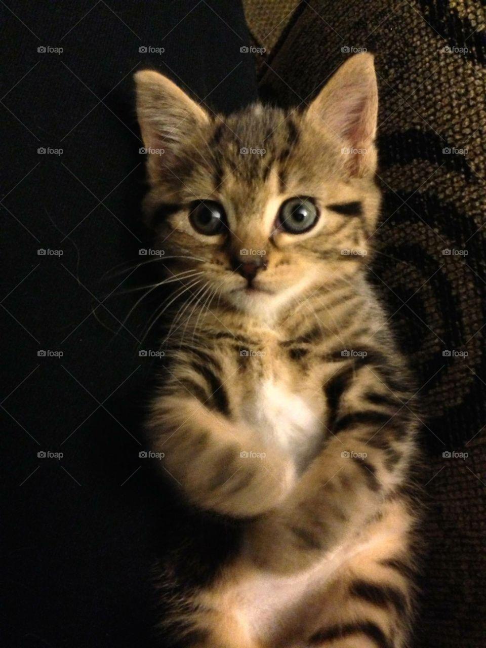 Cat, Kitten, Pet, Portrait, Mammal