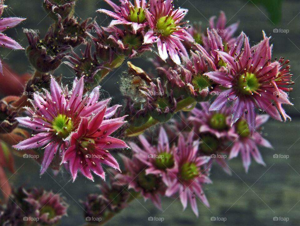 sweden city pink flower by humlabumla1