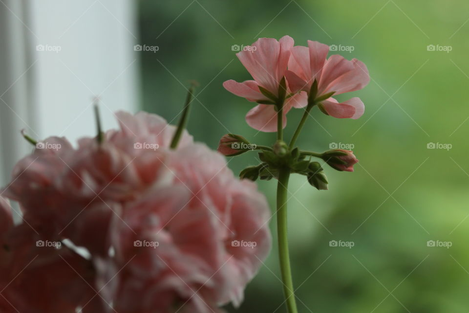 Pink geranium at home