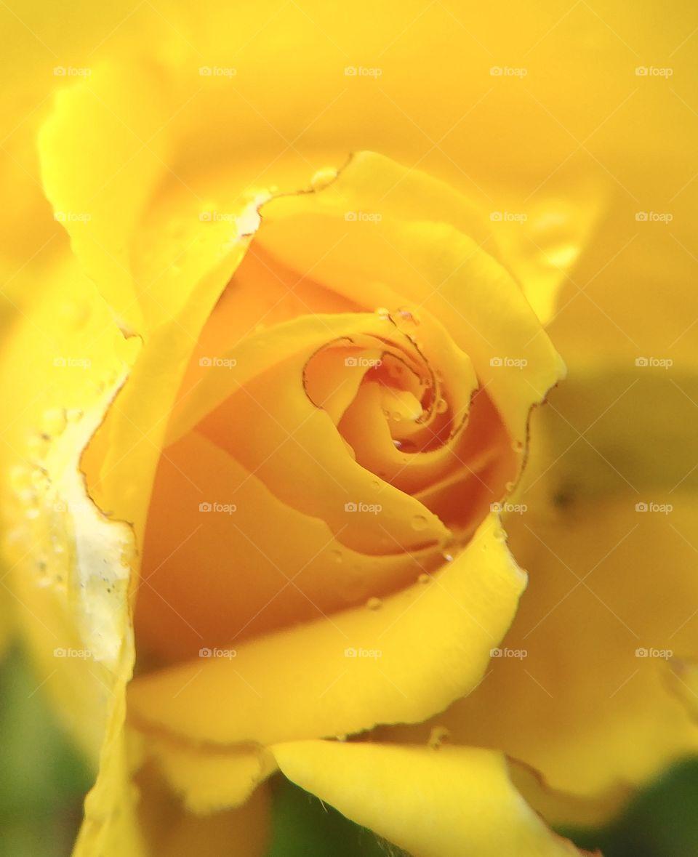 Rose romantisch gelb yellow schön blühen Blüte blume