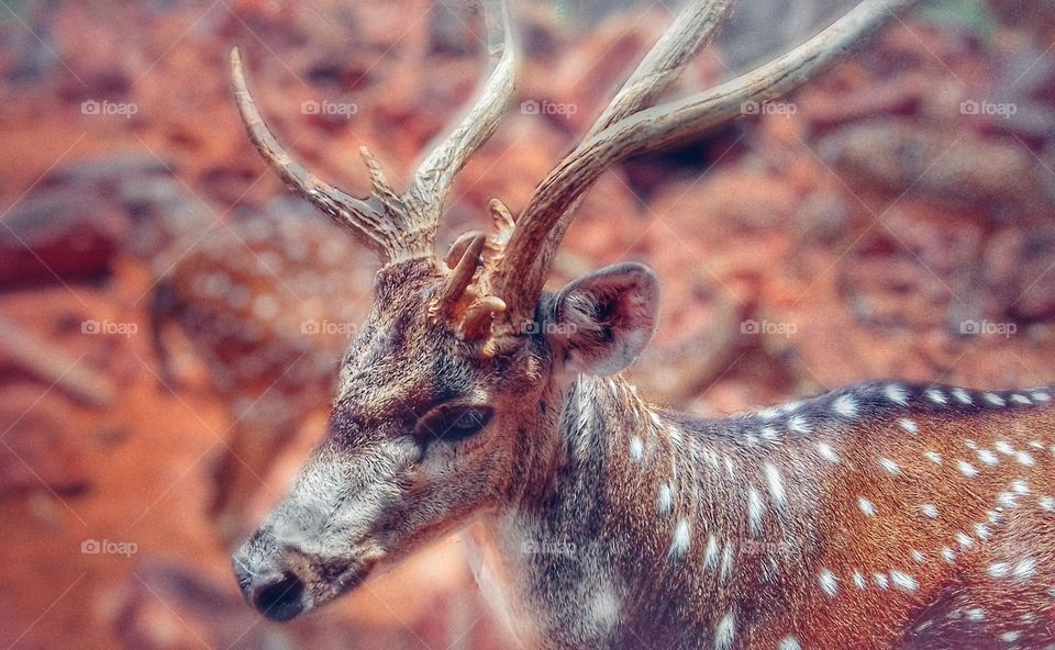 Deerare a group of even-toed ungulate mammals. They form the family Cervidae. A maledeeris called stag or buck, a femaledeeris called doe, and a youngdeeris called fawn. There are about 60 species ofdeer.