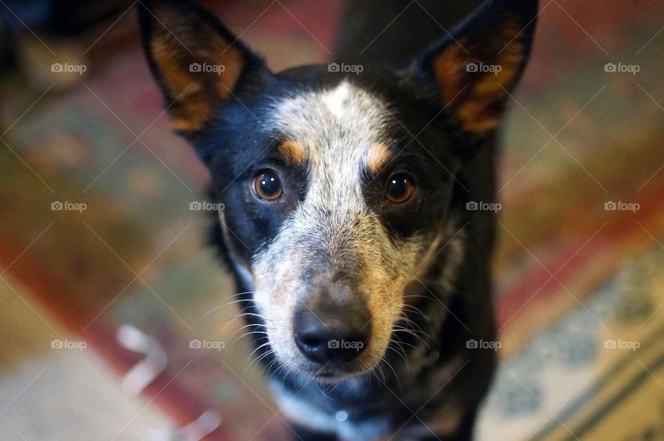 Oxen. My friends cute dog