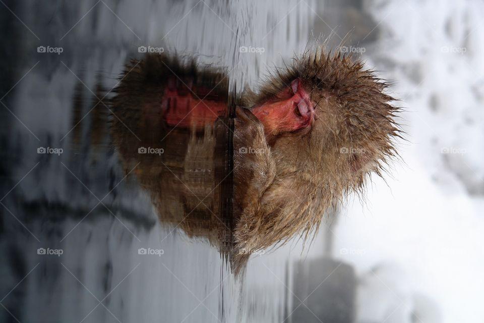 Japanese Snow Monkey Heart Reflection . Japanese Snow Monkey Heart Reflection