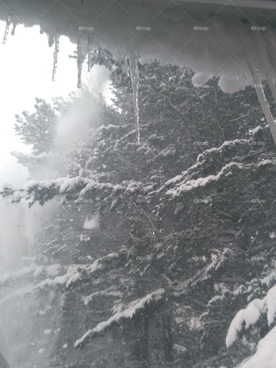Snow falling from pines