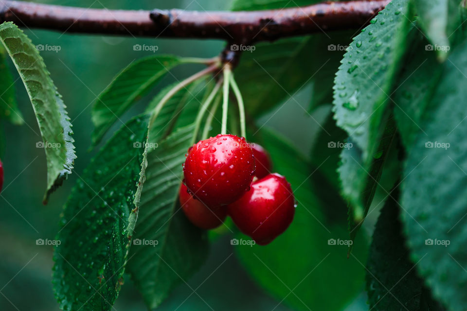 Closeup of ripe red cherry berries on tree among green leaves