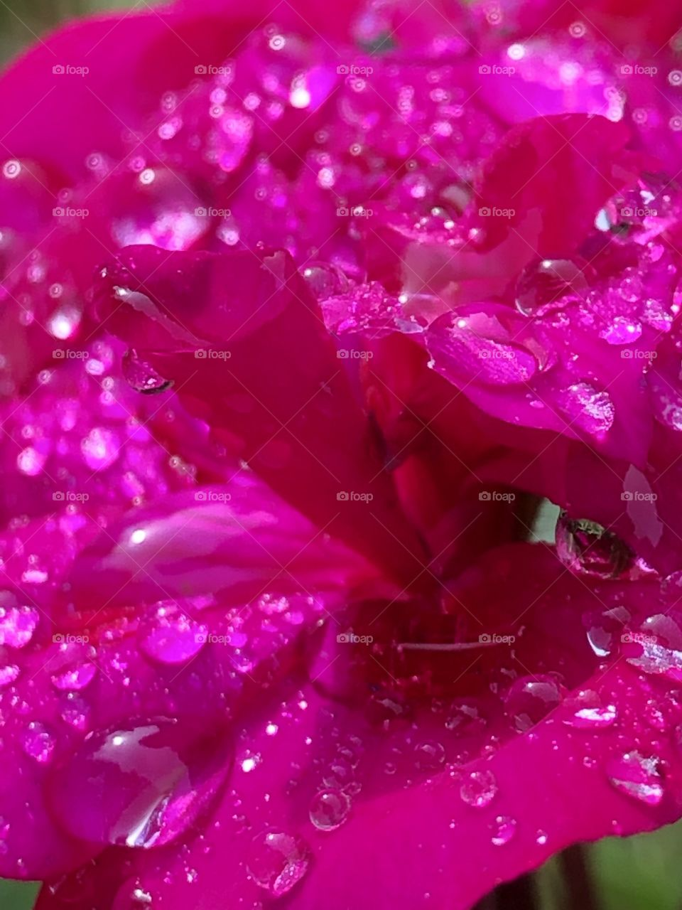 Beautiful Colourful Vibrant Dark Pink Geranium Flowers Close With Crystal Rain Drops Morning Photography