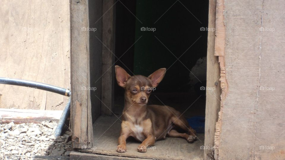 Chihuahua dog in the house