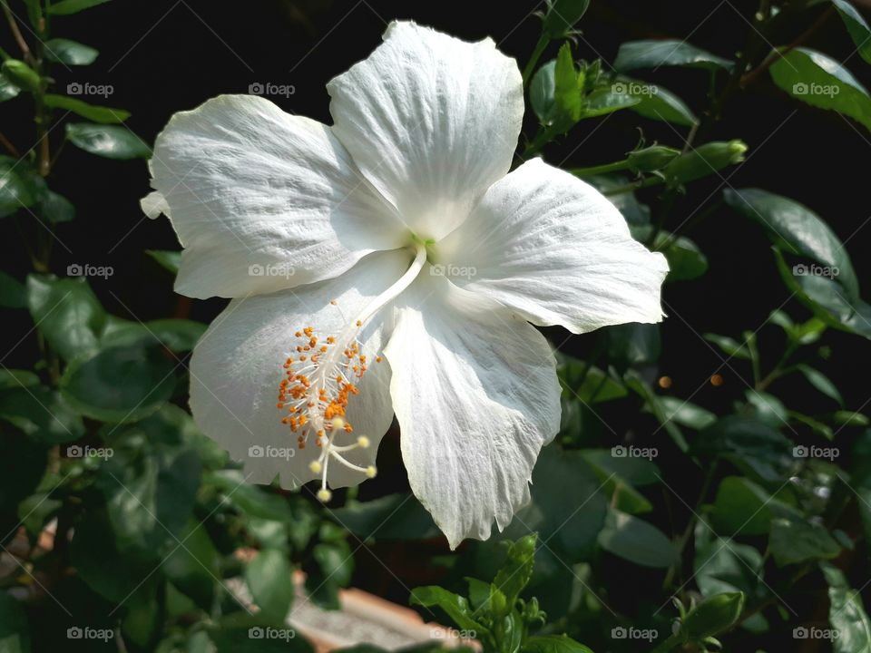 White hibiscus green leaves