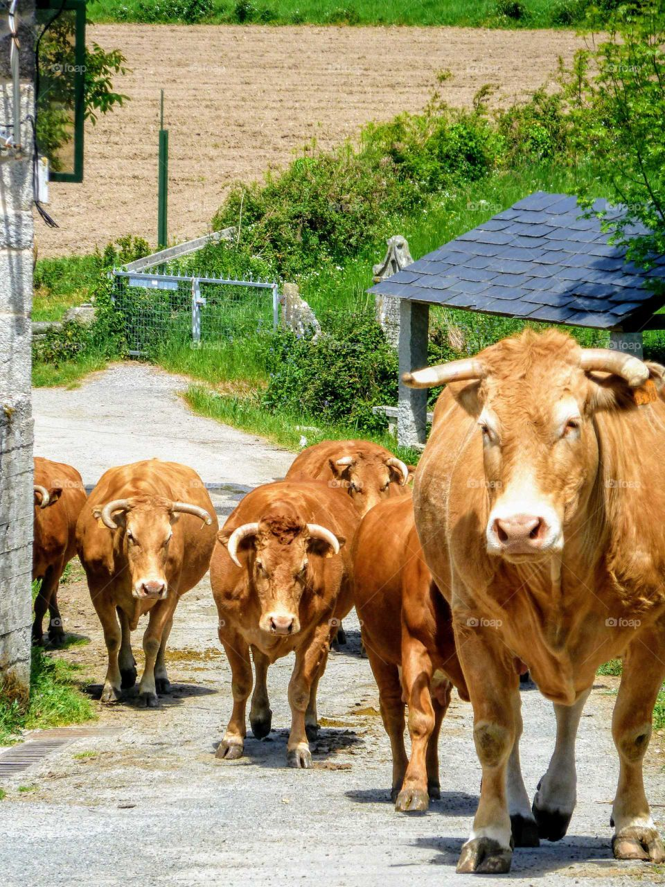 Herd of cows going up to the field
