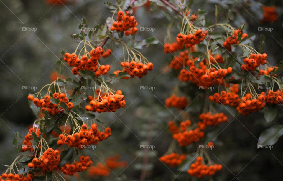 Rowanberry tree branch, fall
