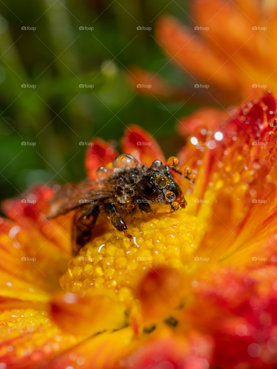 Honey Bee is collecting nectar