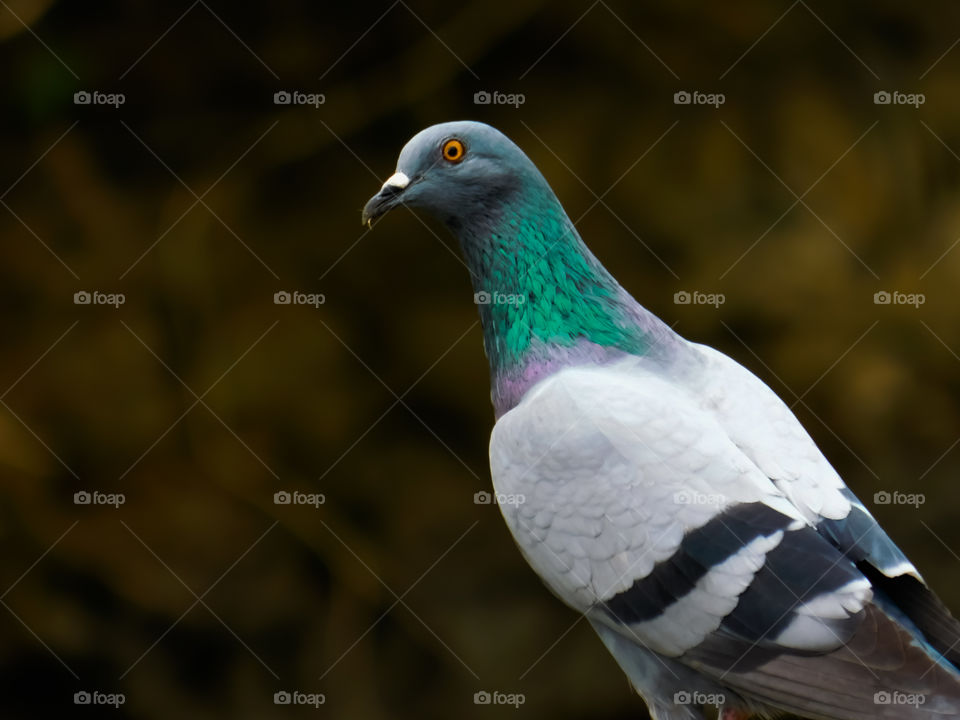 Looking and Standing Pigeon with blur background. Detailed colourful  body of pigeon.