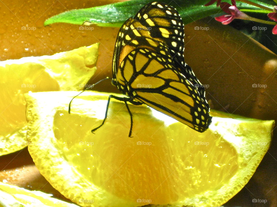 Mellow Yellow Monarch. Museum of Natural History