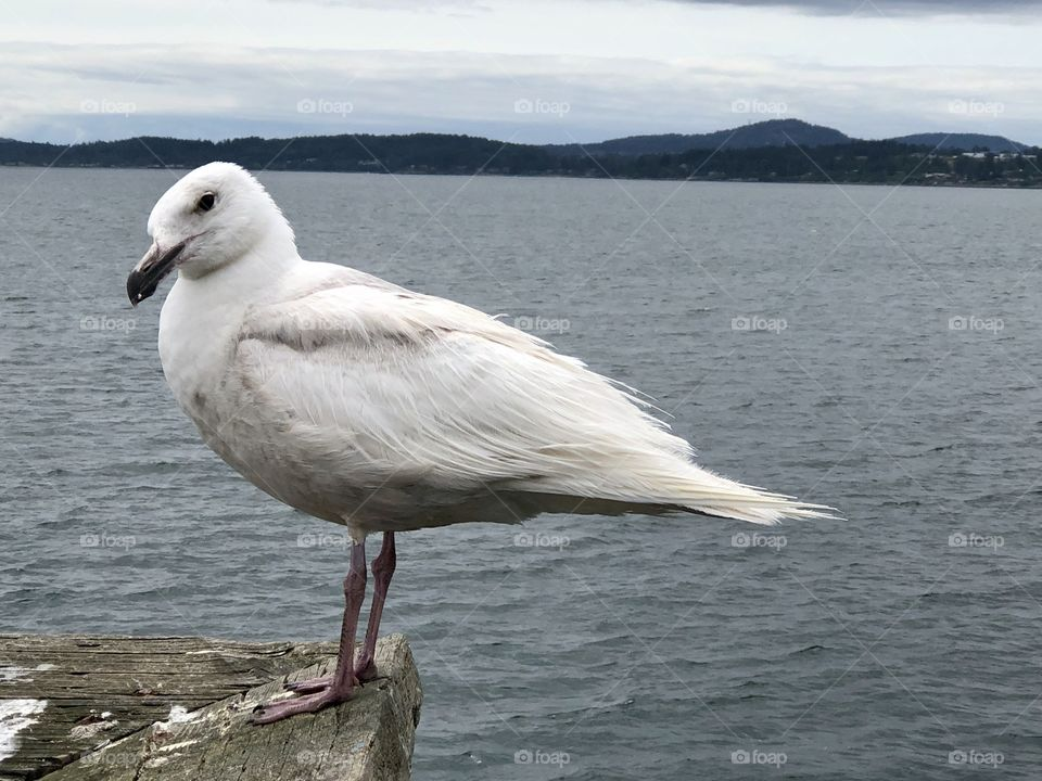 Beautiful Cheeky Seagull Sidney Harbour Pier