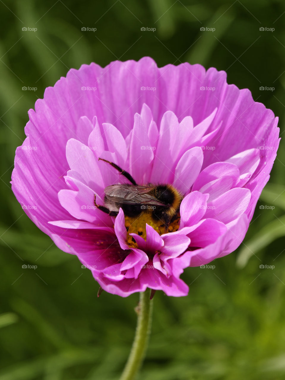Bumblebee in a cosmo flower