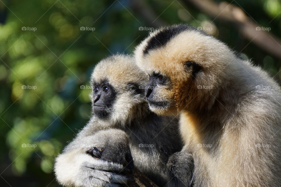 Close-up of gibbon with her baby