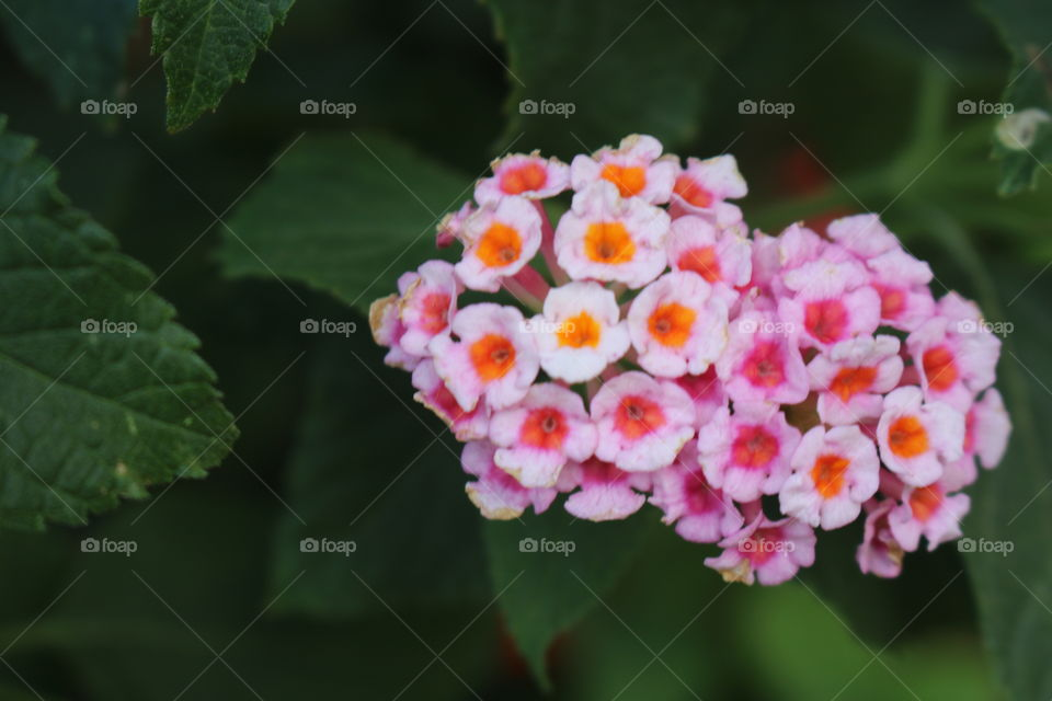 Shrub verbena with cluster of tiny delicate pink flowers. Pink Lantana.