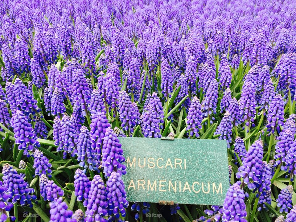 Muscari. Keukenhof, The Netherlands