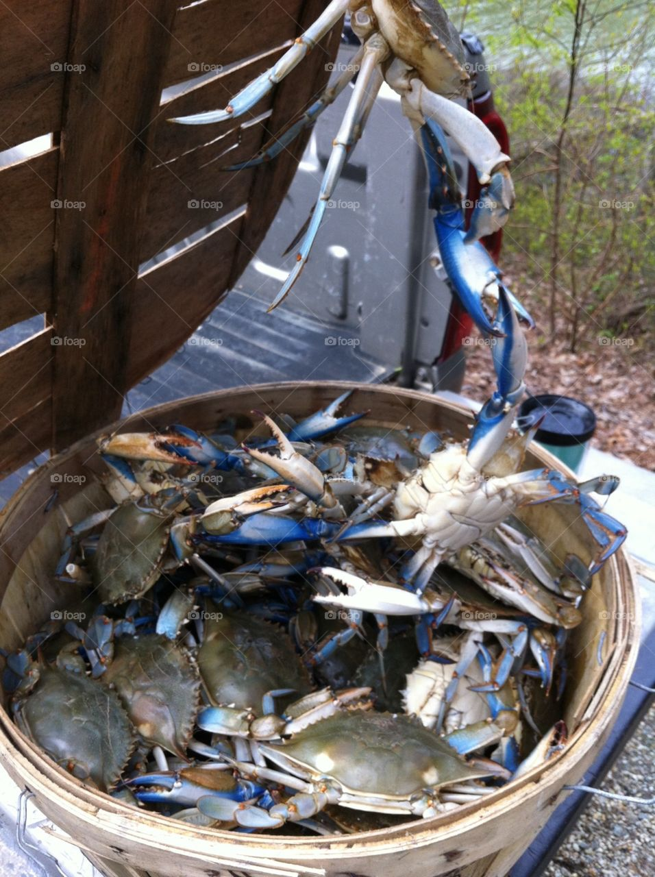 The mighty blue crab of the Chesapeake Bay!