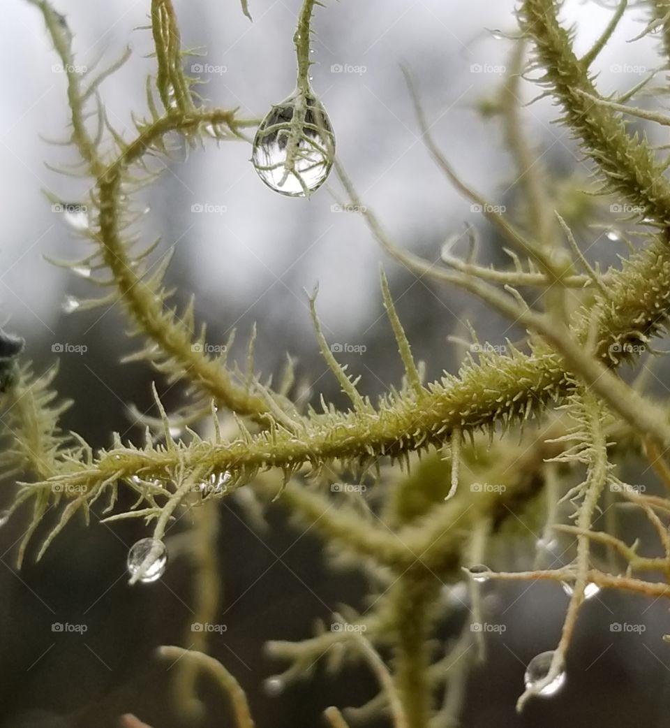 Macro shot of dew drops on lichen