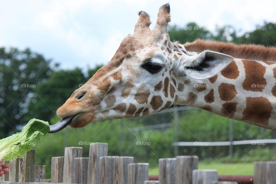 A giraffe at the zoo enjoying a lettuce leaf!