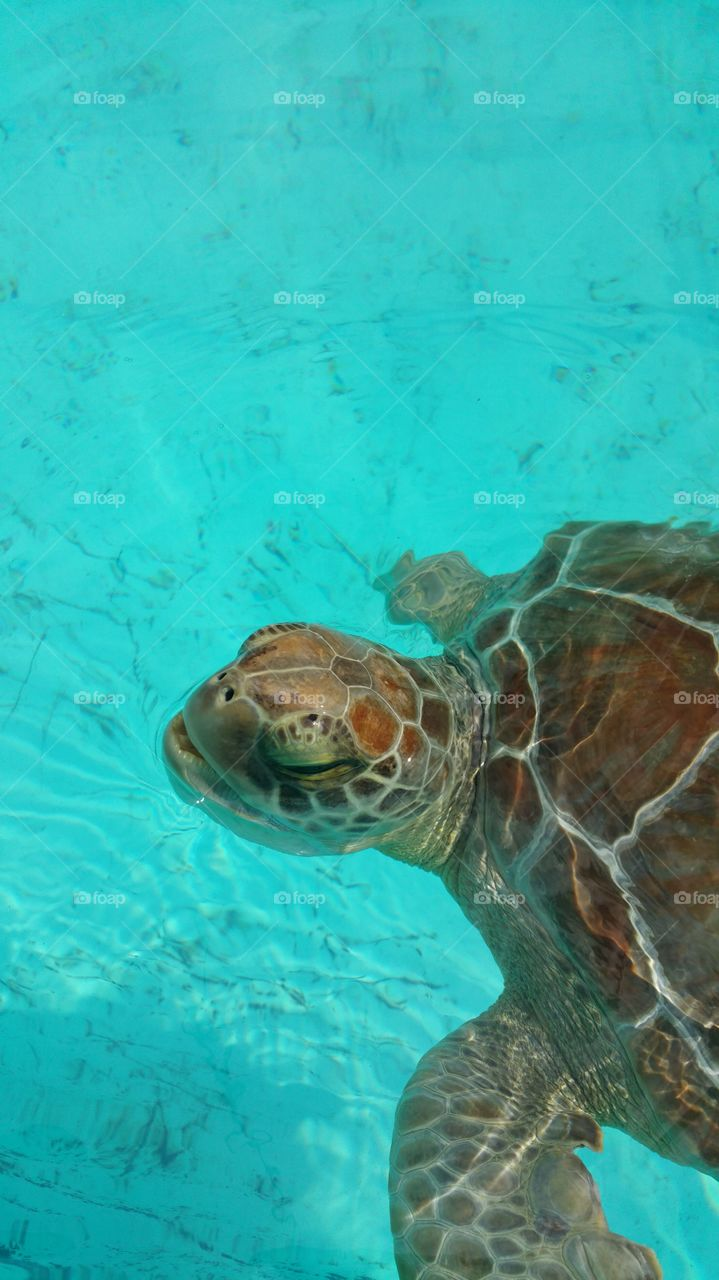 rescued sea turtle. trip to Florida keys and the turtle hospital
