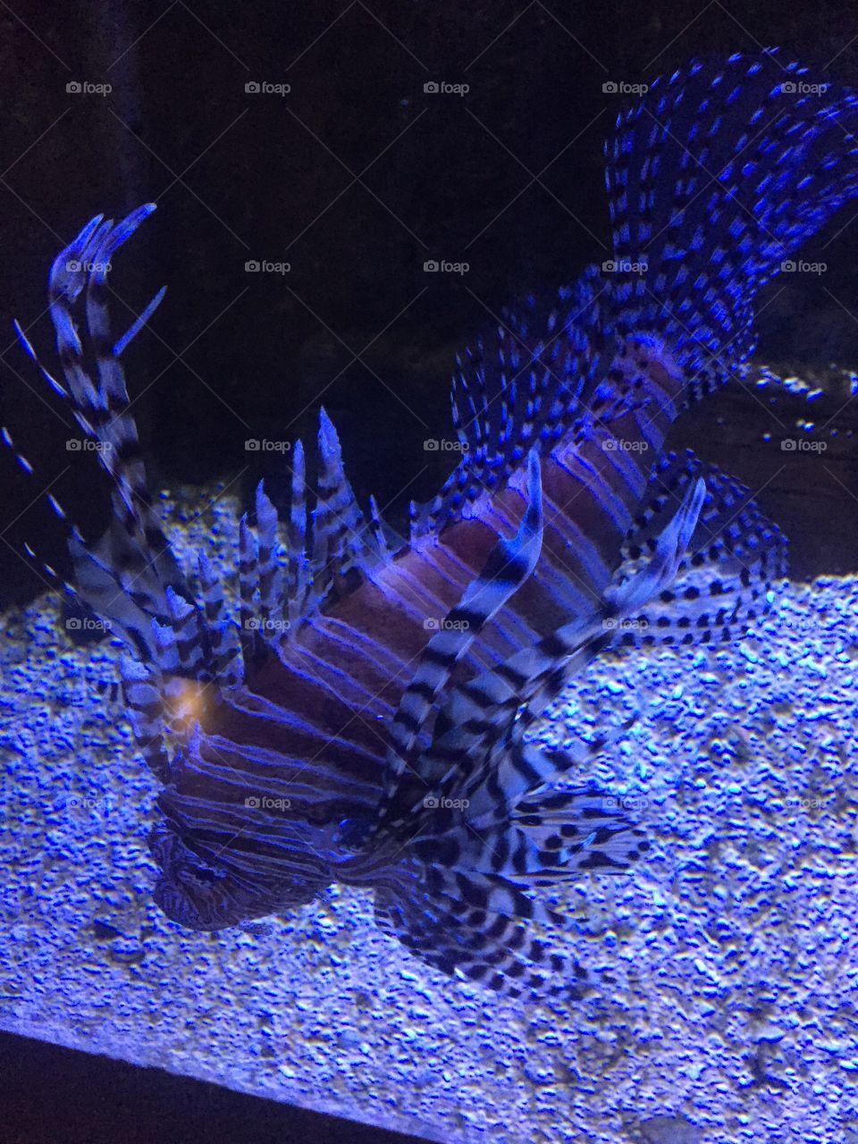 Lion fish is blue